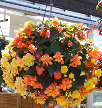 upload/0.13122900 1363198997_begonias-in-flower-baskets200x215.jpg